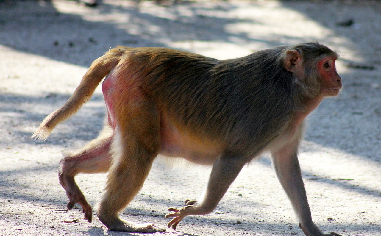 monkey fat walking free photo