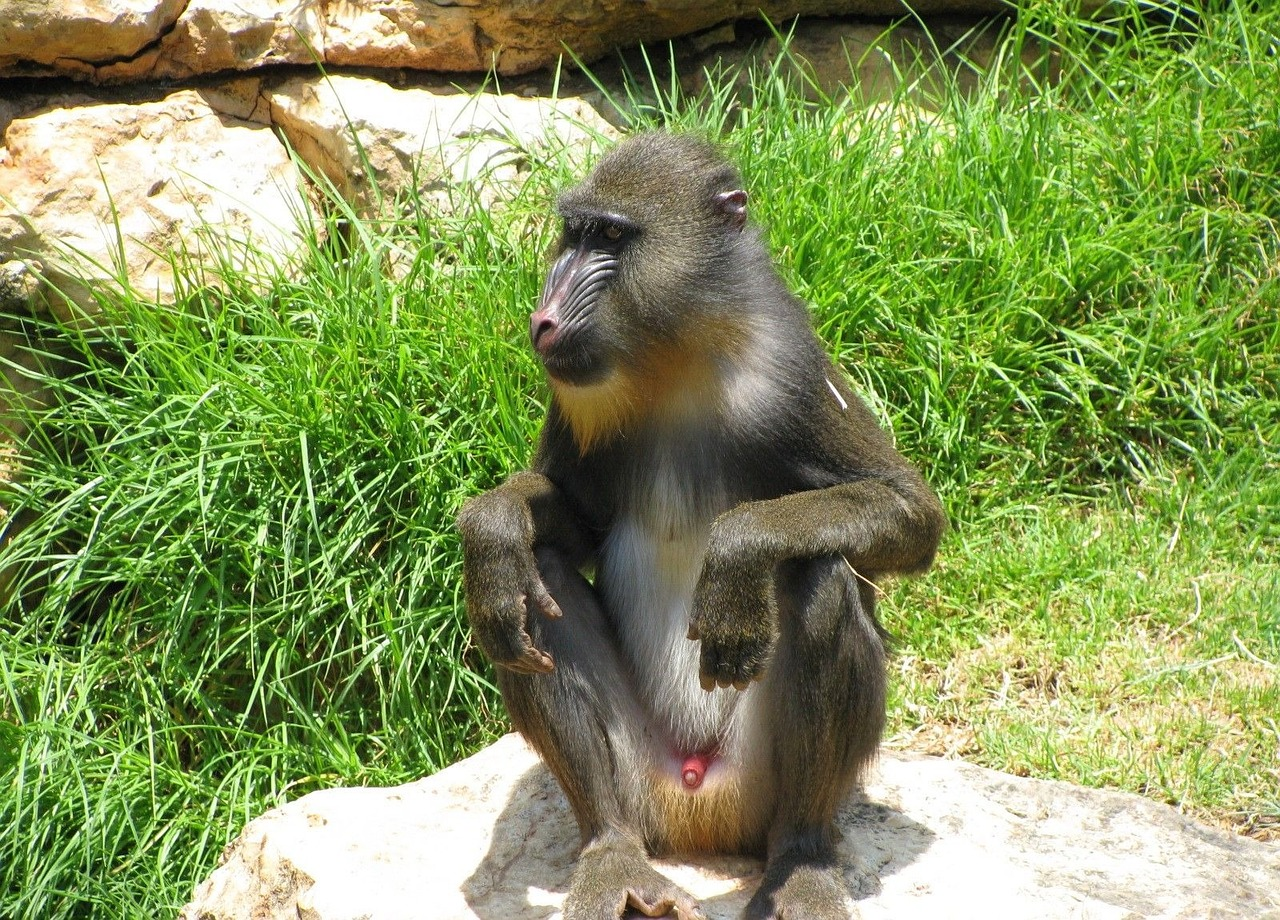 monkey baboon sitting free photo
