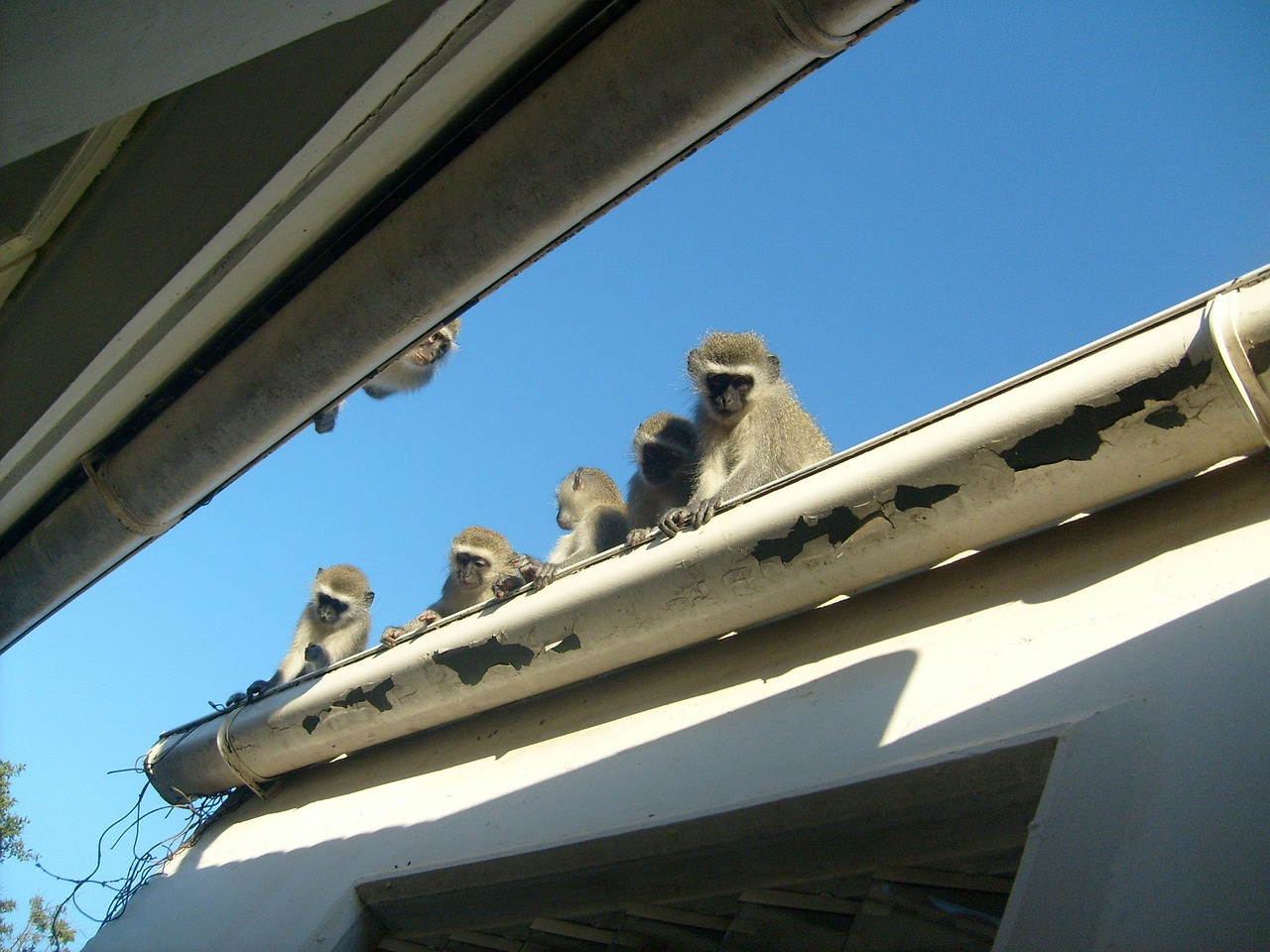 monkeys roof young free photo