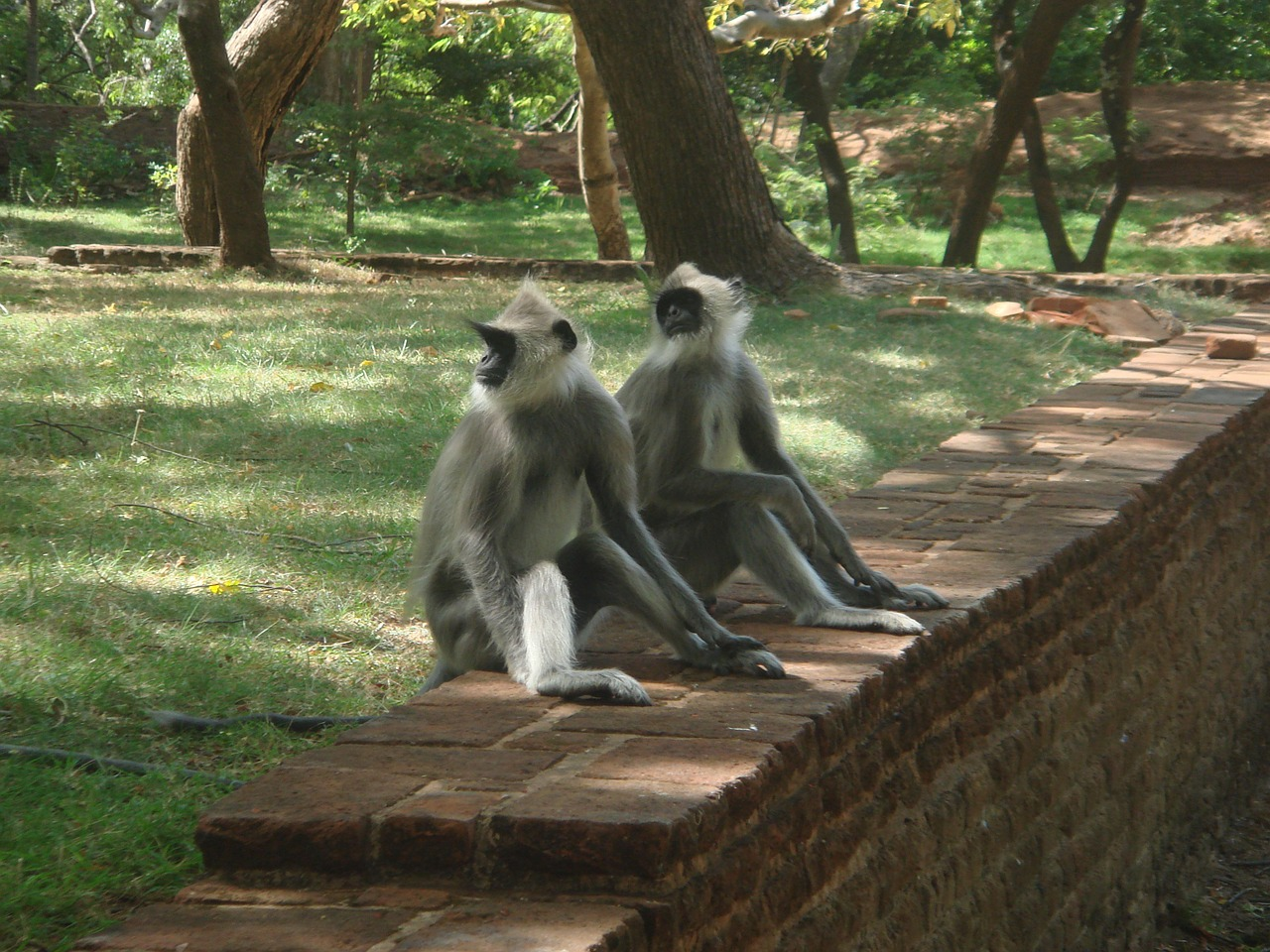 monkeys monkey family sri lanka free photo