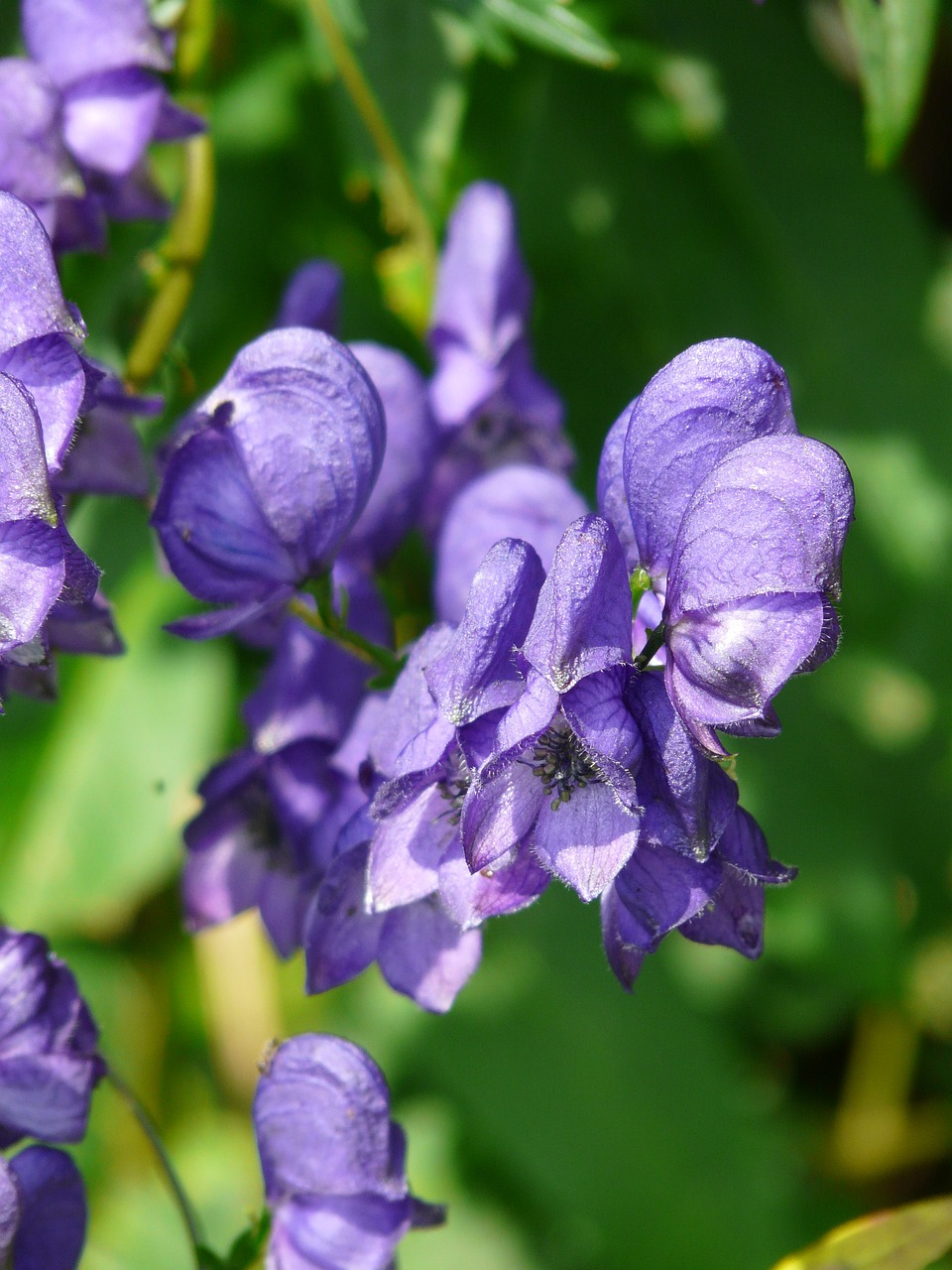 monkshood aconitum napellus aconite free photo