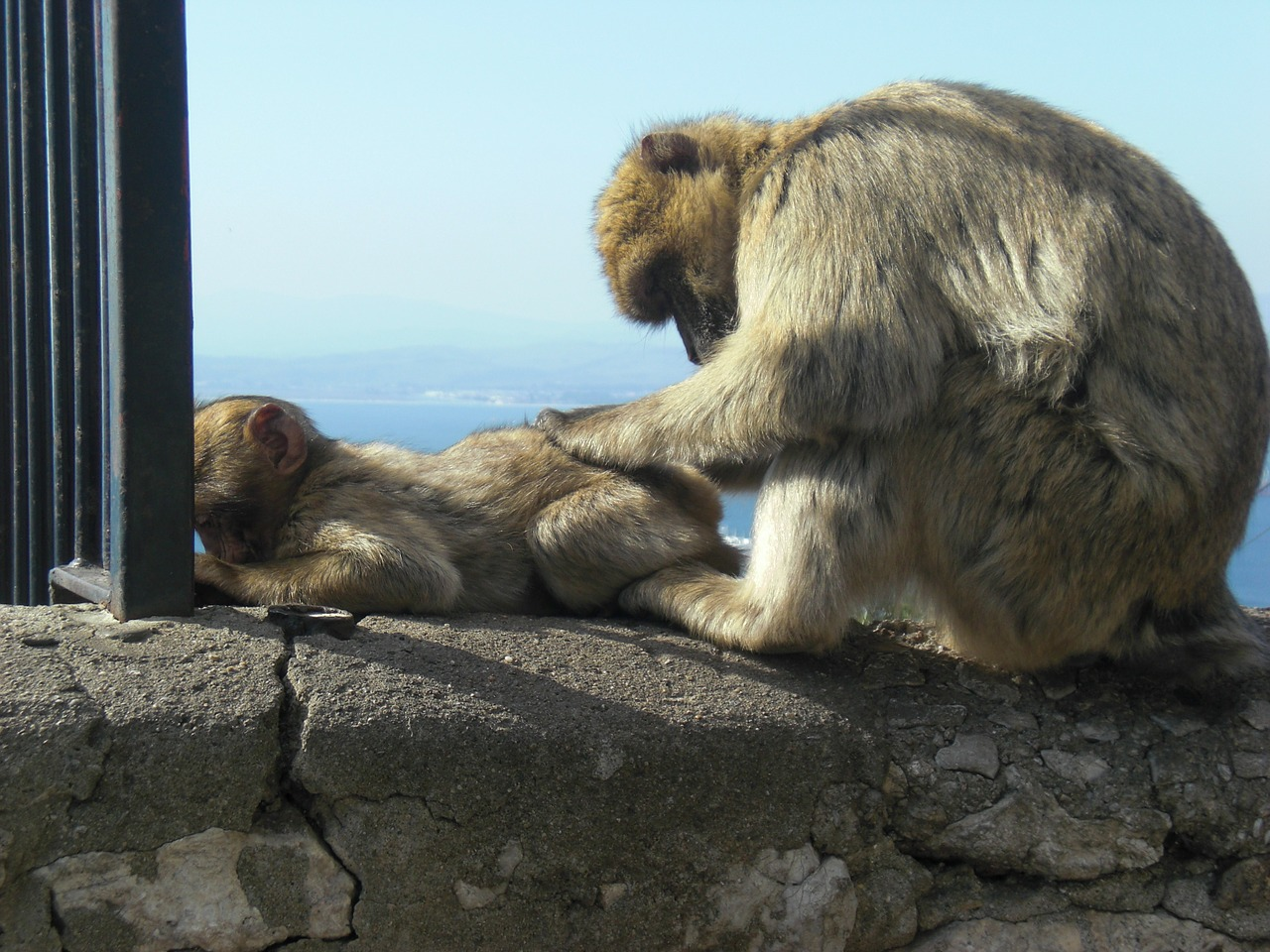mono gibraltar monkey family free photo