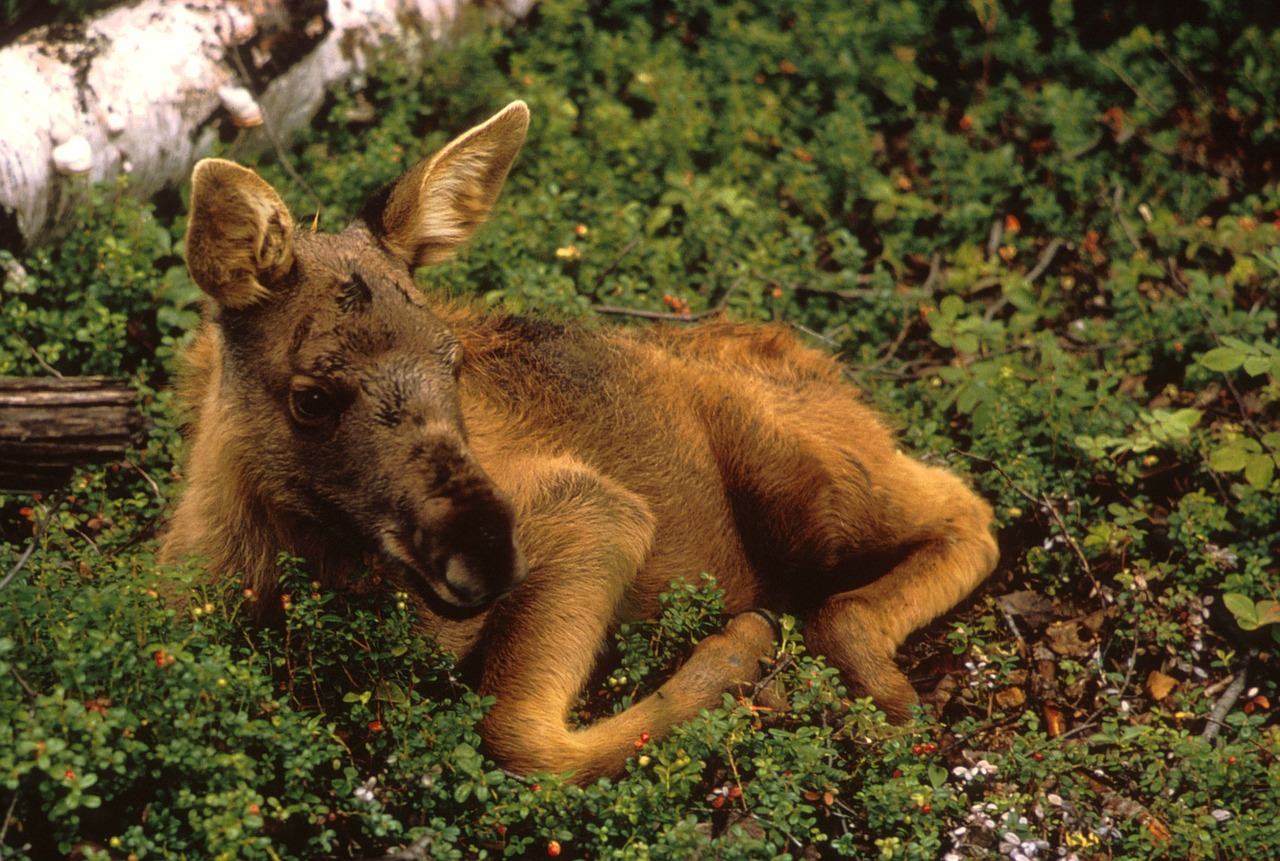 moose calf young free photo