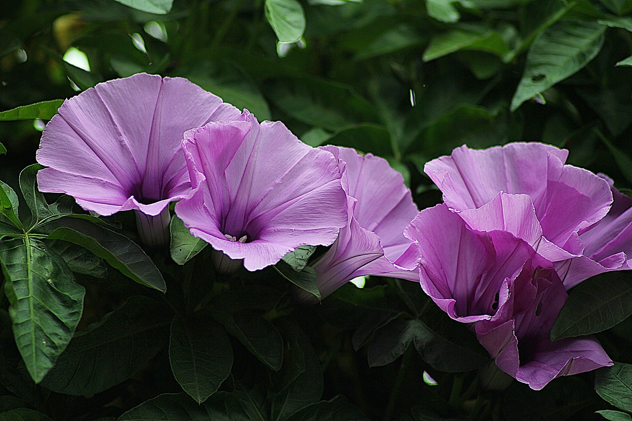 morning glory floral plants free photo