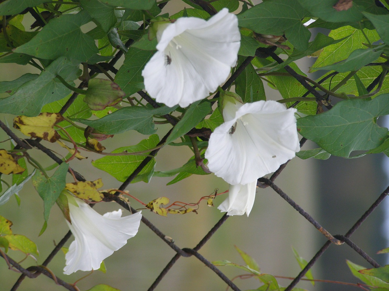 morning glory fence white free photo