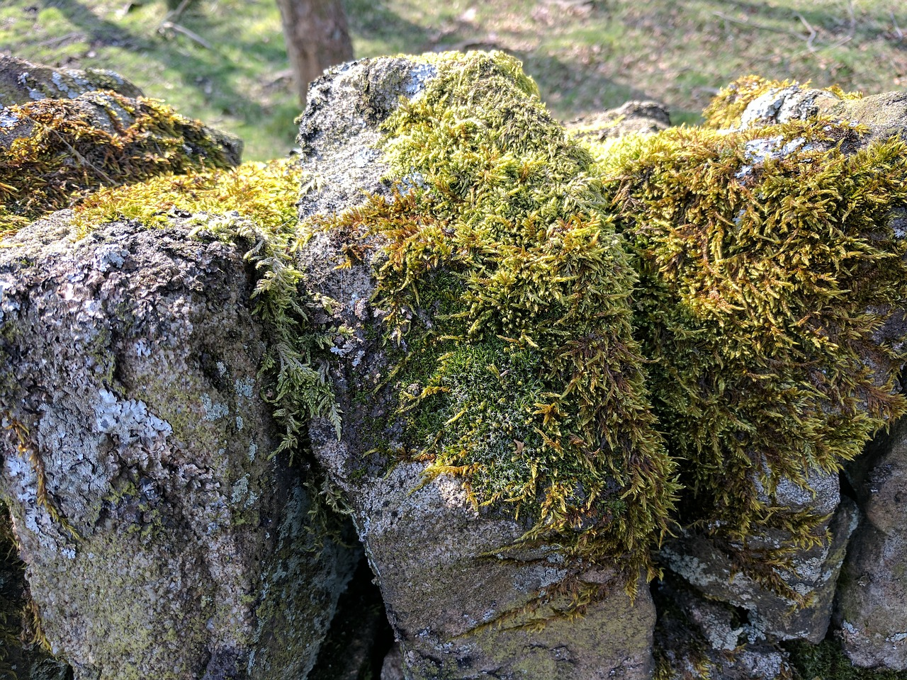 moss,greenery,drystone wall,walls,stones,outdoors,uk,derbyshire,longshaw estate,woods,countryside,walks,nature,natural,beauty,free pictures, free photos, free images, royalty free, free illustrations