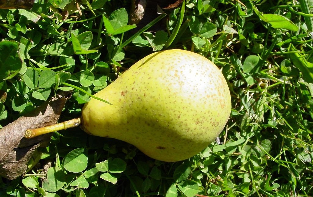 most pear pear yellow free photo