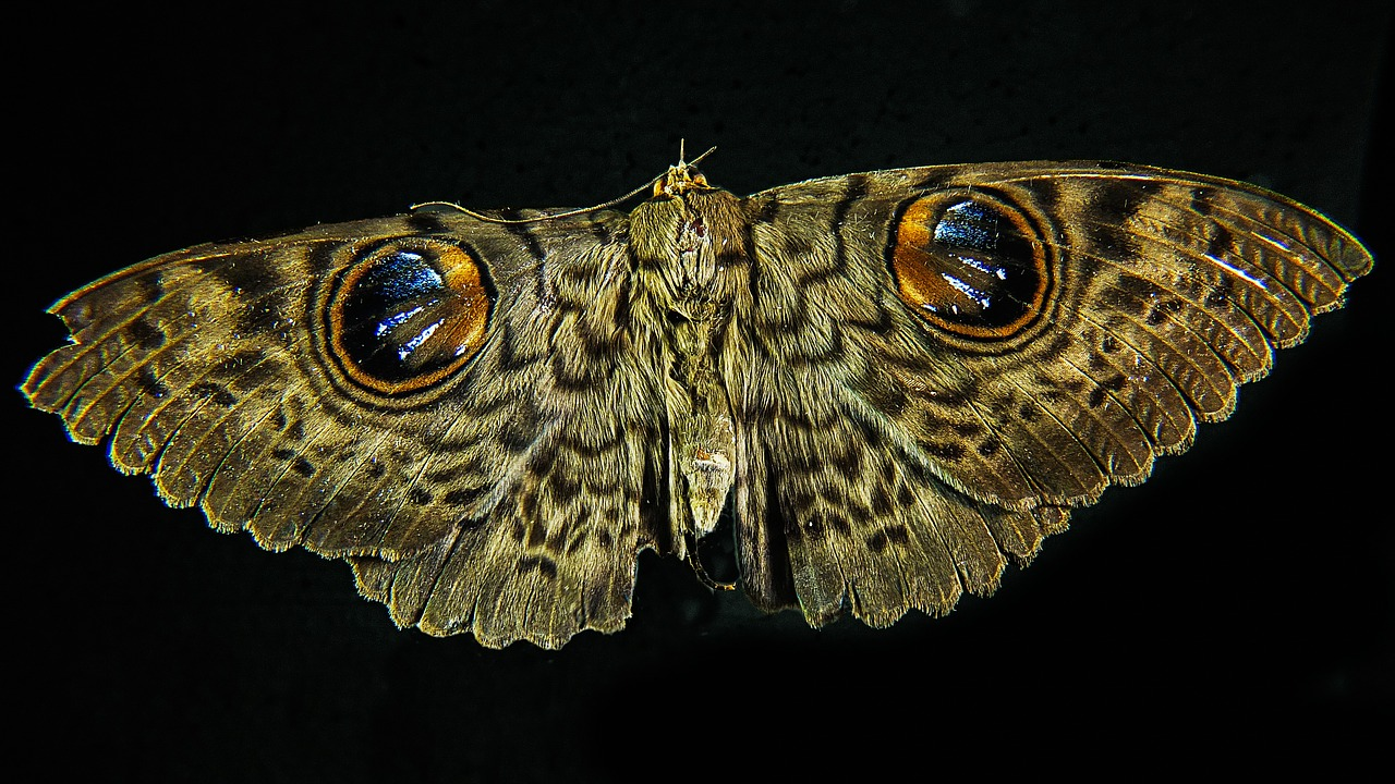 moth butterfly close free photo