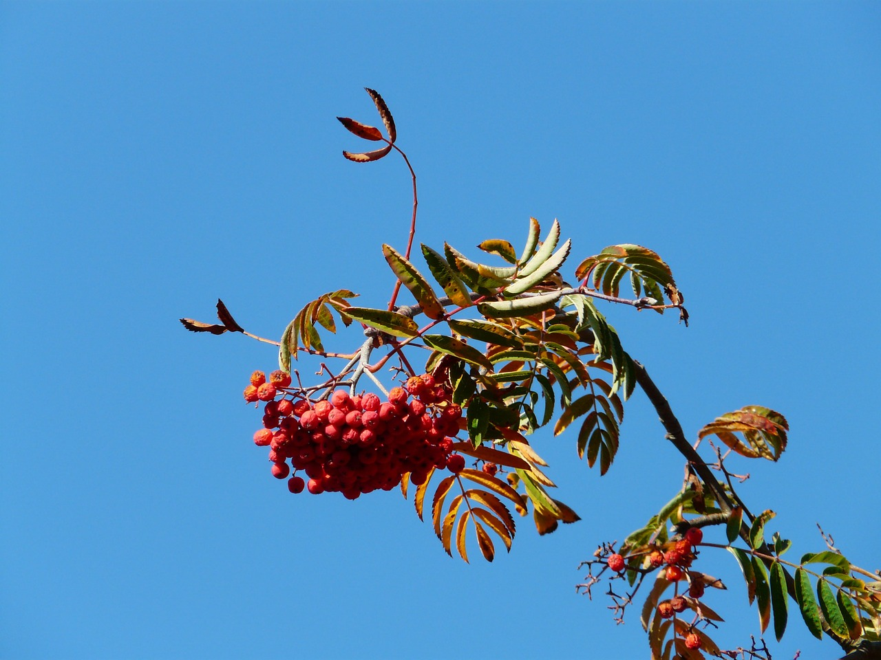 mountain ash ash rowan free photo