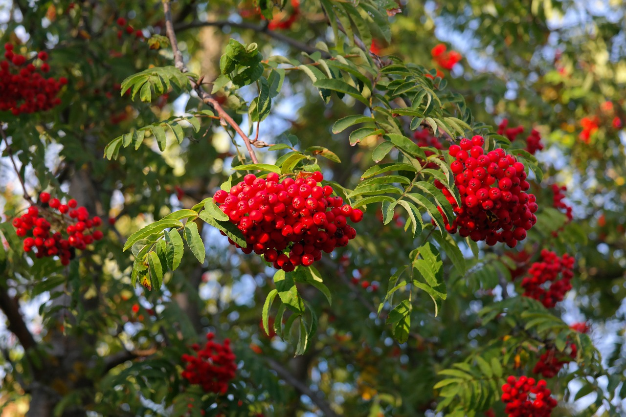 mountain ash ash berries free photo