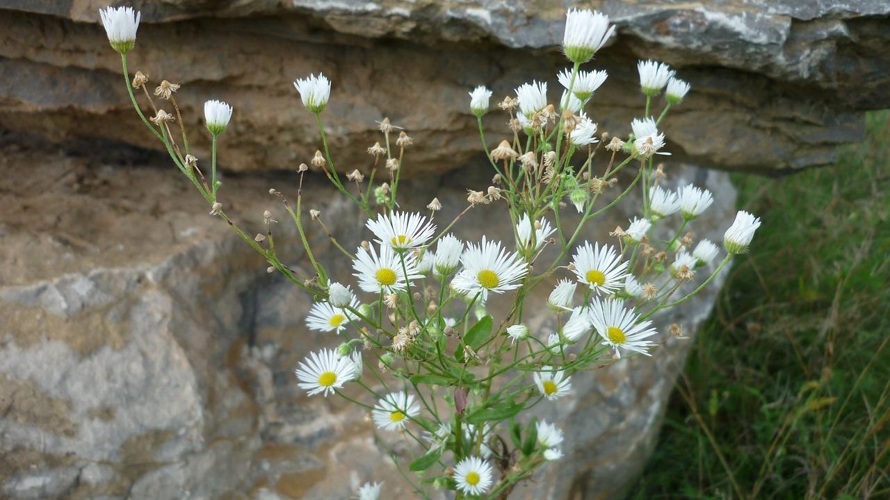 Mountain Asterwild Flowertinywhiteflowers Free Photo From