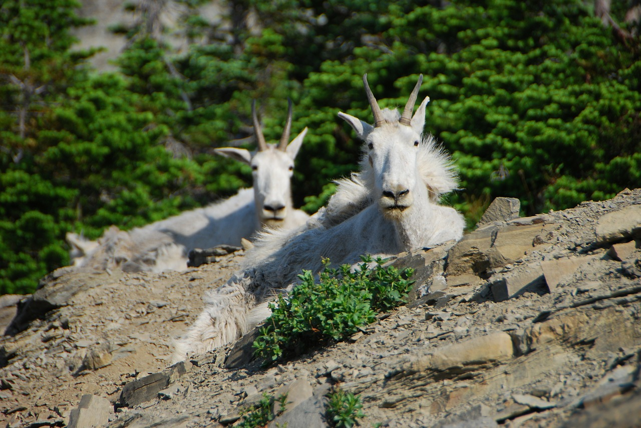 mountain goats montana glacier national park free photo