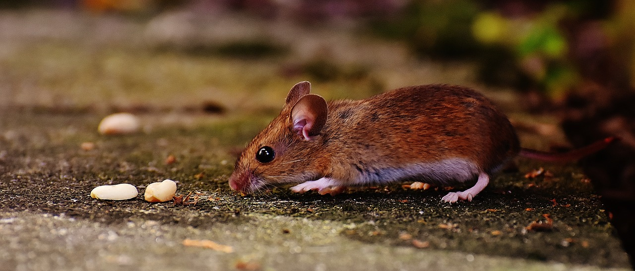 mouse rodent cute free photo