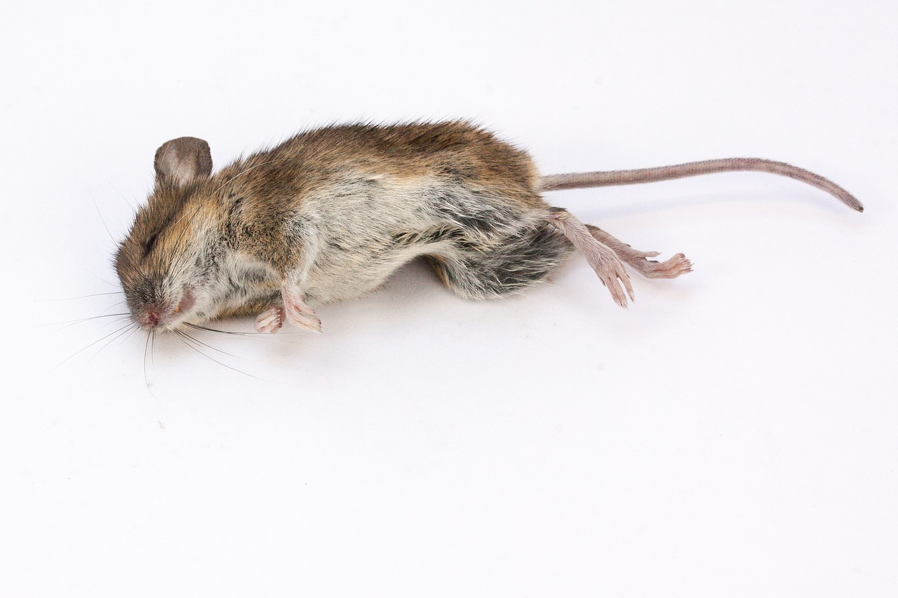 mouse wood mouse apodemus sylvaticus free photo