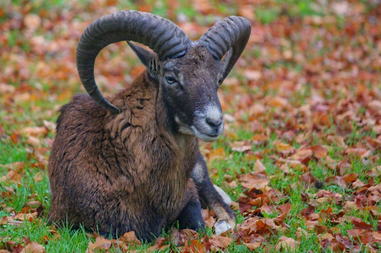 Muflon, sheep, aries, male, mammal - free image from needpix.com