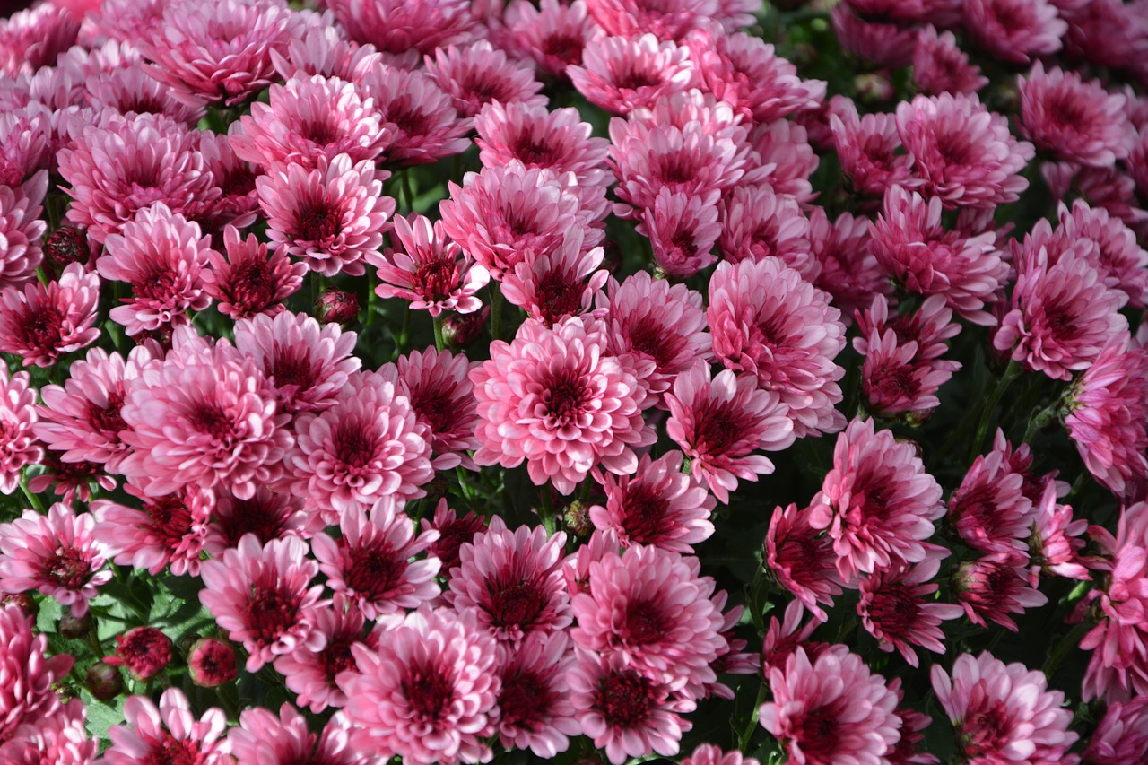 mums,flowers,colors,pink purple,flowers flowers,nature,toussaint,botany,flowers fall,flowering,petals,plant,fall,yellow flowers,chrysanthemums bright pink,free pictures, free photos, free images, royalty free, free illustrations, public domain