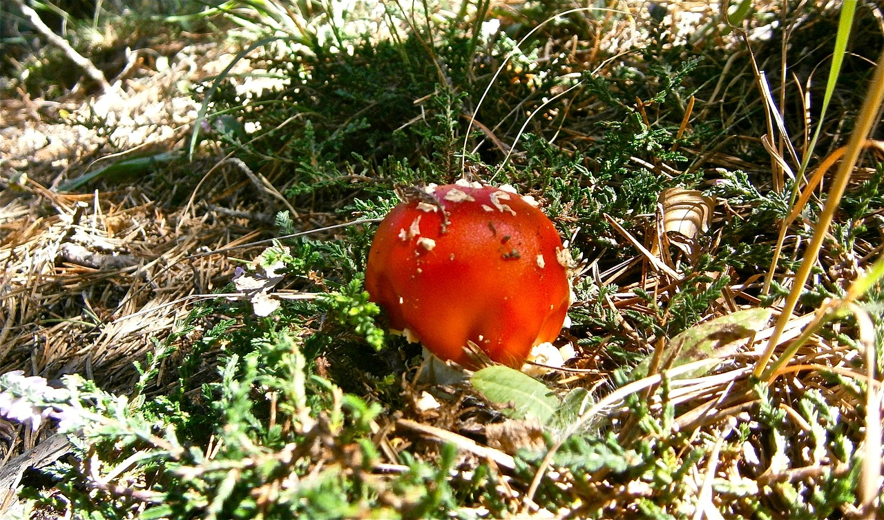 mushrooms amanita muscaria forest free photo