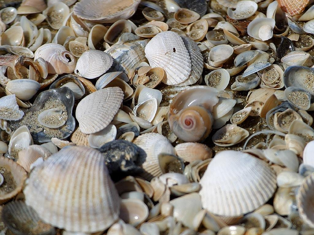 mussels mussel shells shells free photo