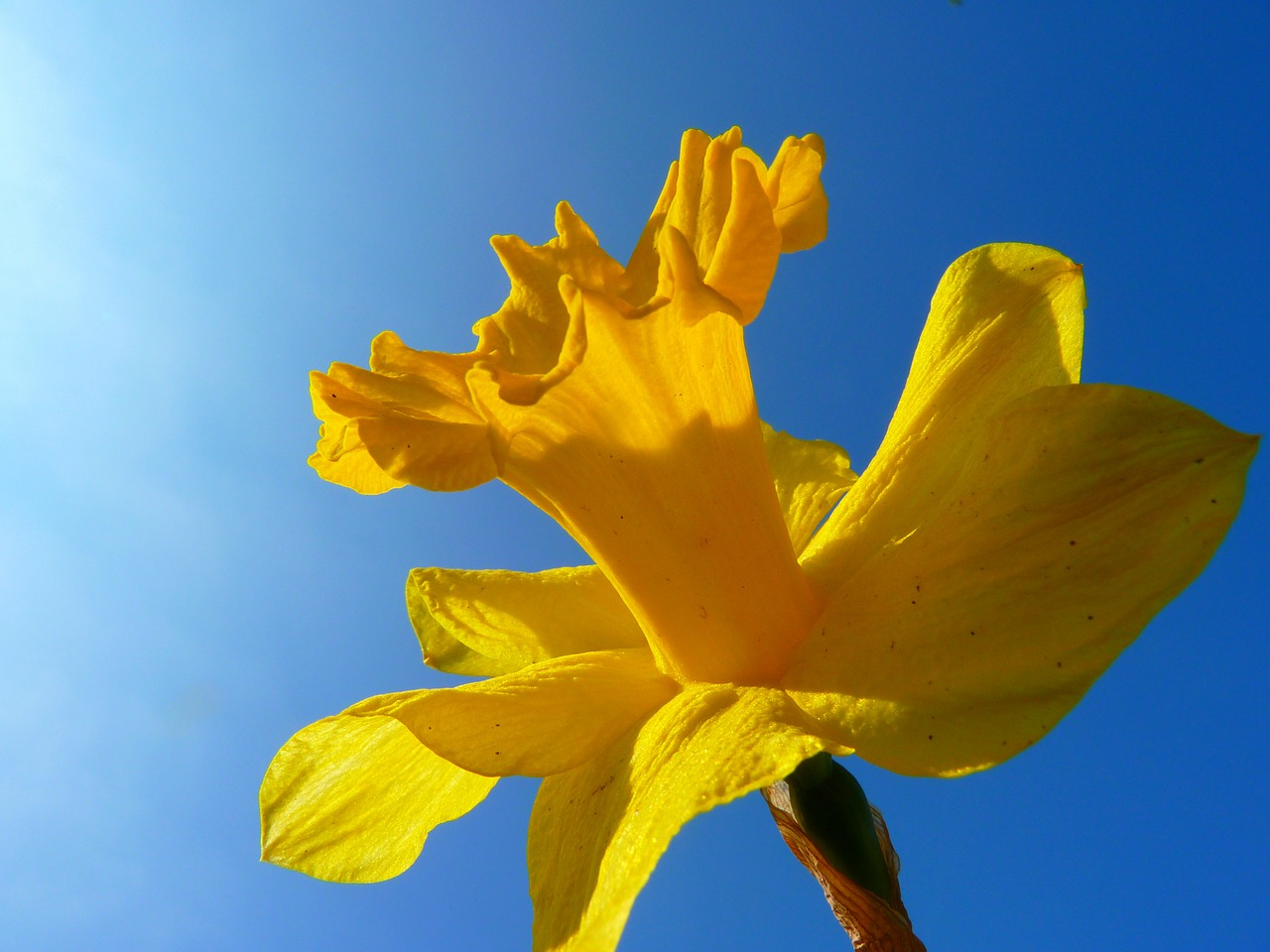 narcissus daffodil flower free photo