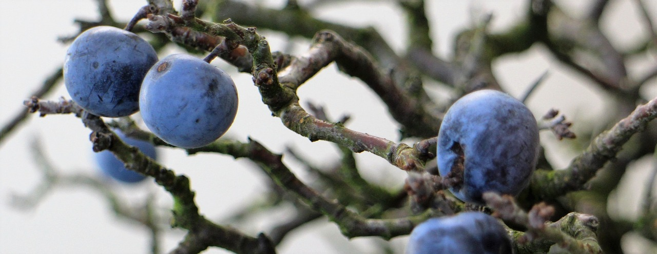sloes berries fruit free photo
