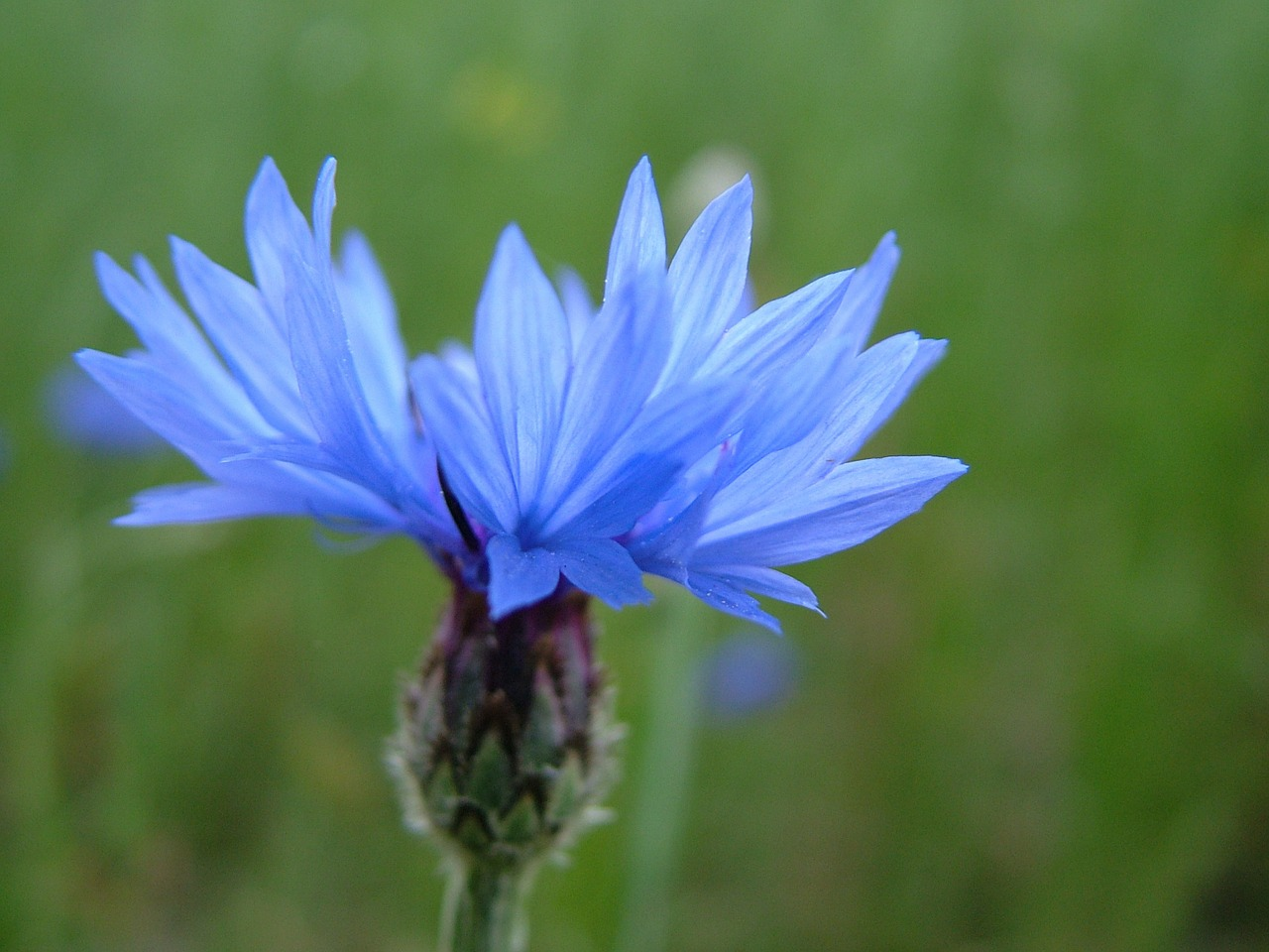 nature flower blue free photo