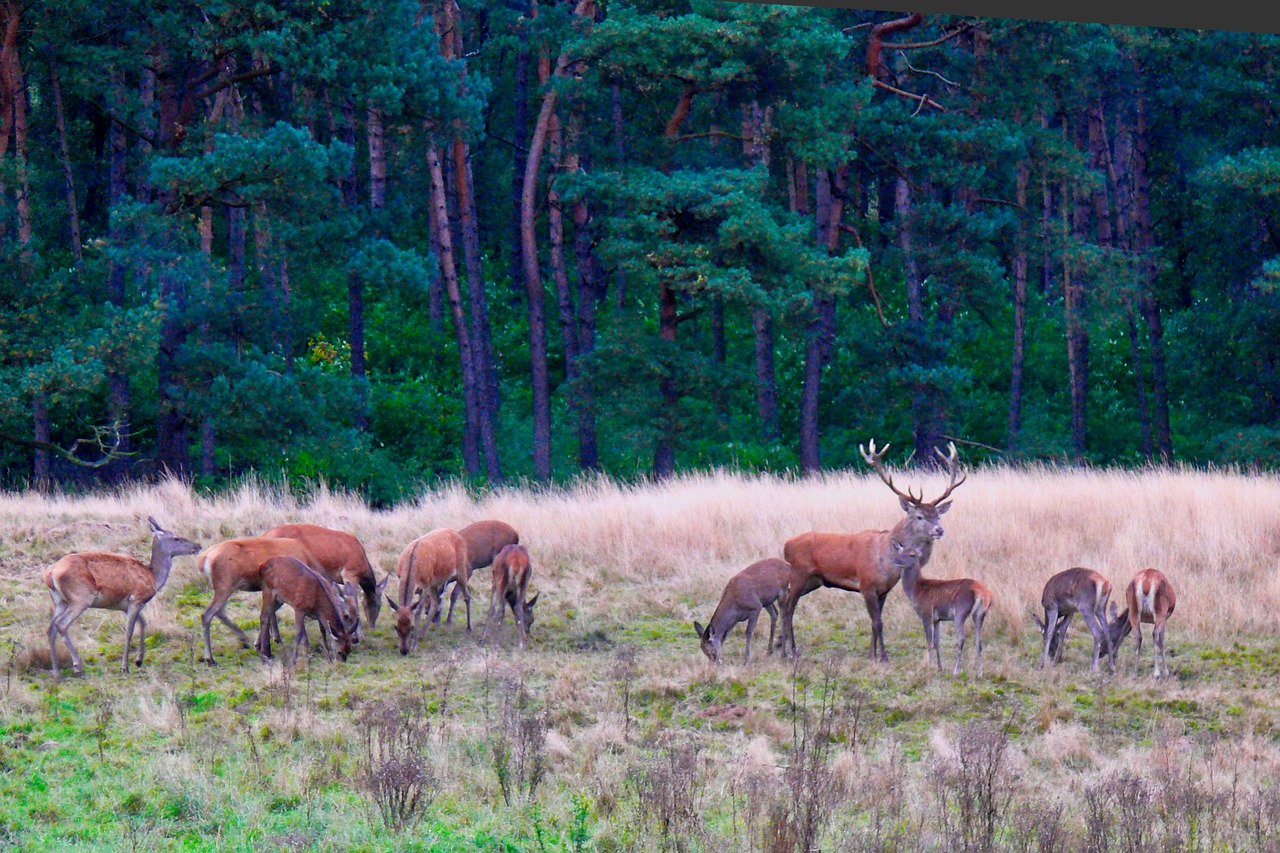 nature, deer, veluwe, antlers,free pictures, free photos, free images, royalty free, free illustrations, public domain