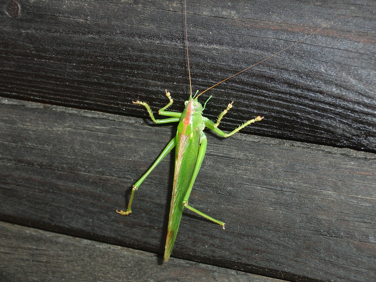 nature grasshopper animal free photo