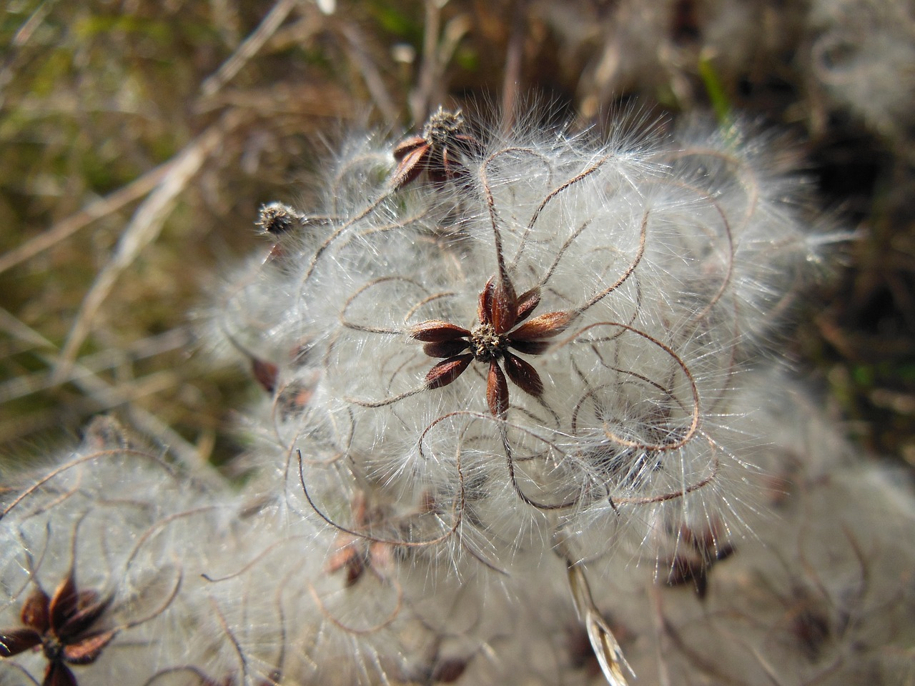nature plant pappus free photo