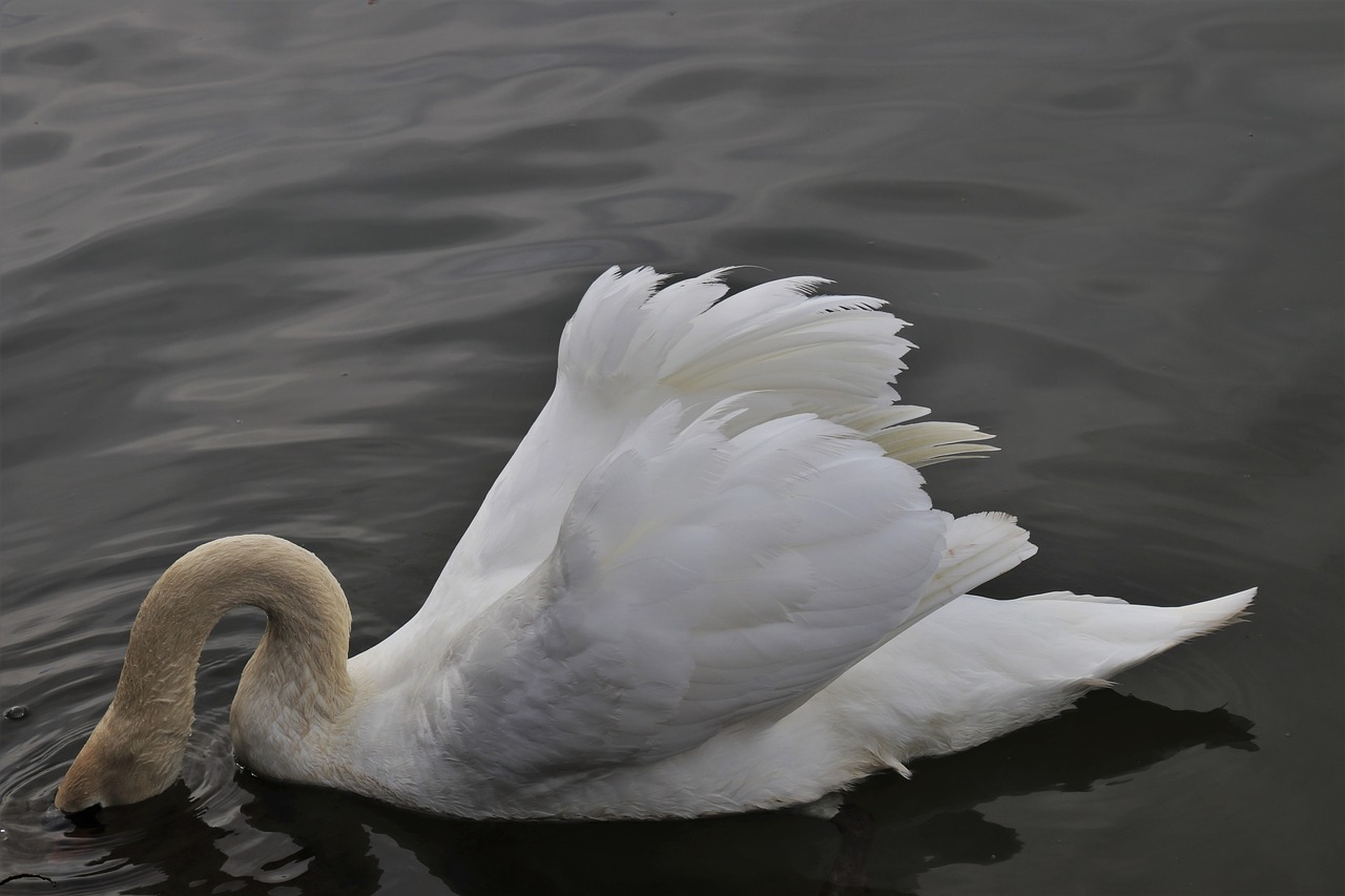 neck  diving  swan free photo