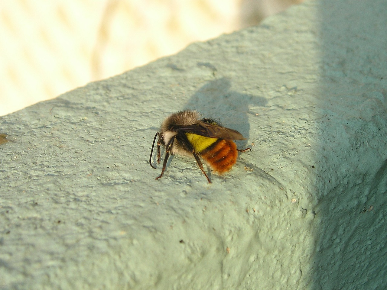 nepal bee hummel free photo