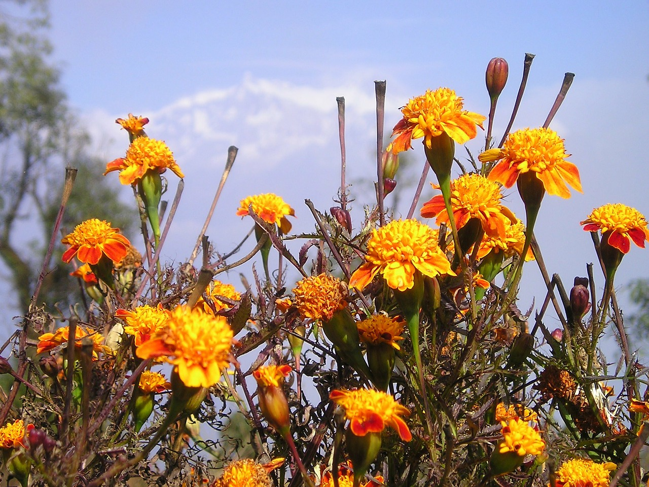 nepal flowers gel free photo