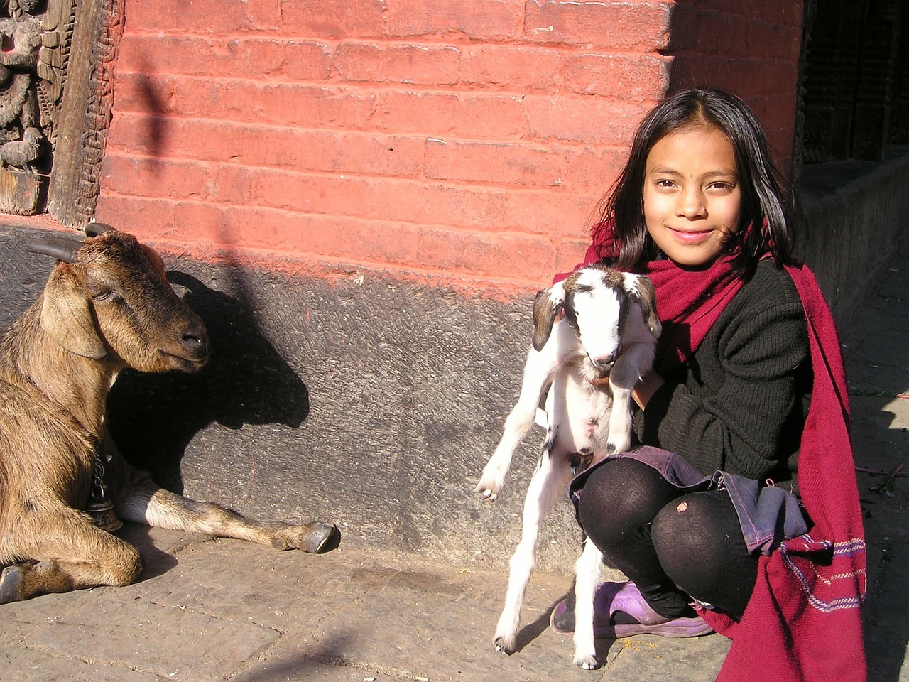 nepal goat sheep free photo