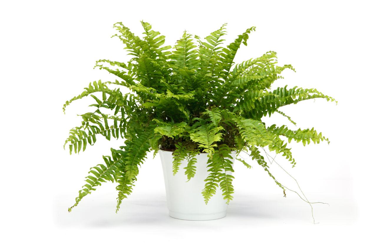 Image result for boston fern