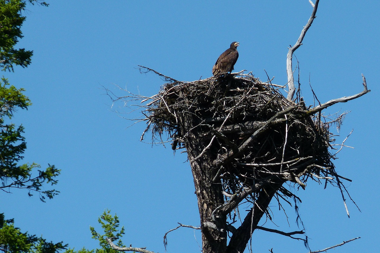 nesting osprey chick free photo