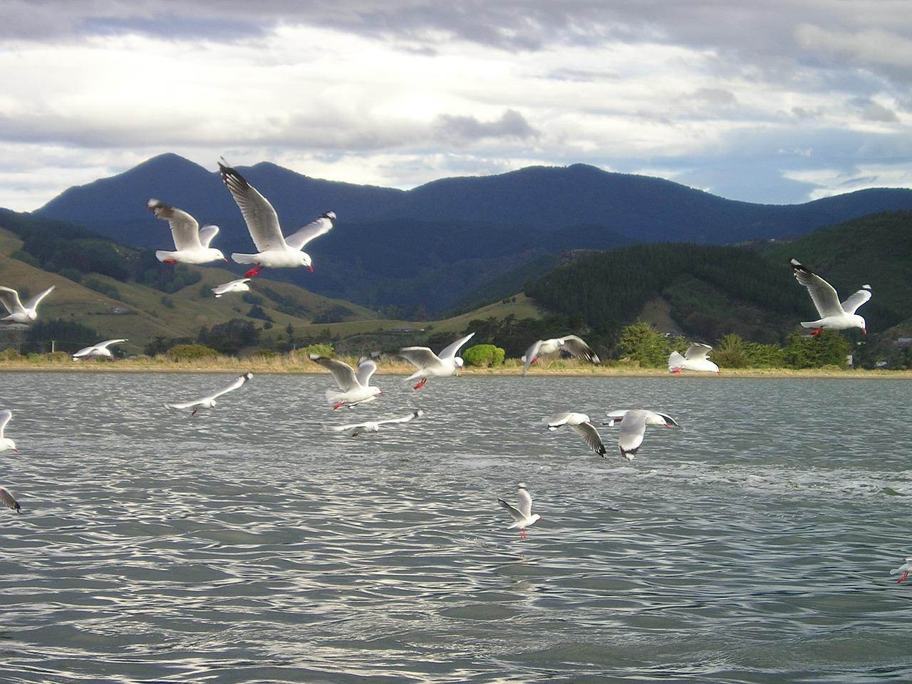 new zealand gulls fly free picture