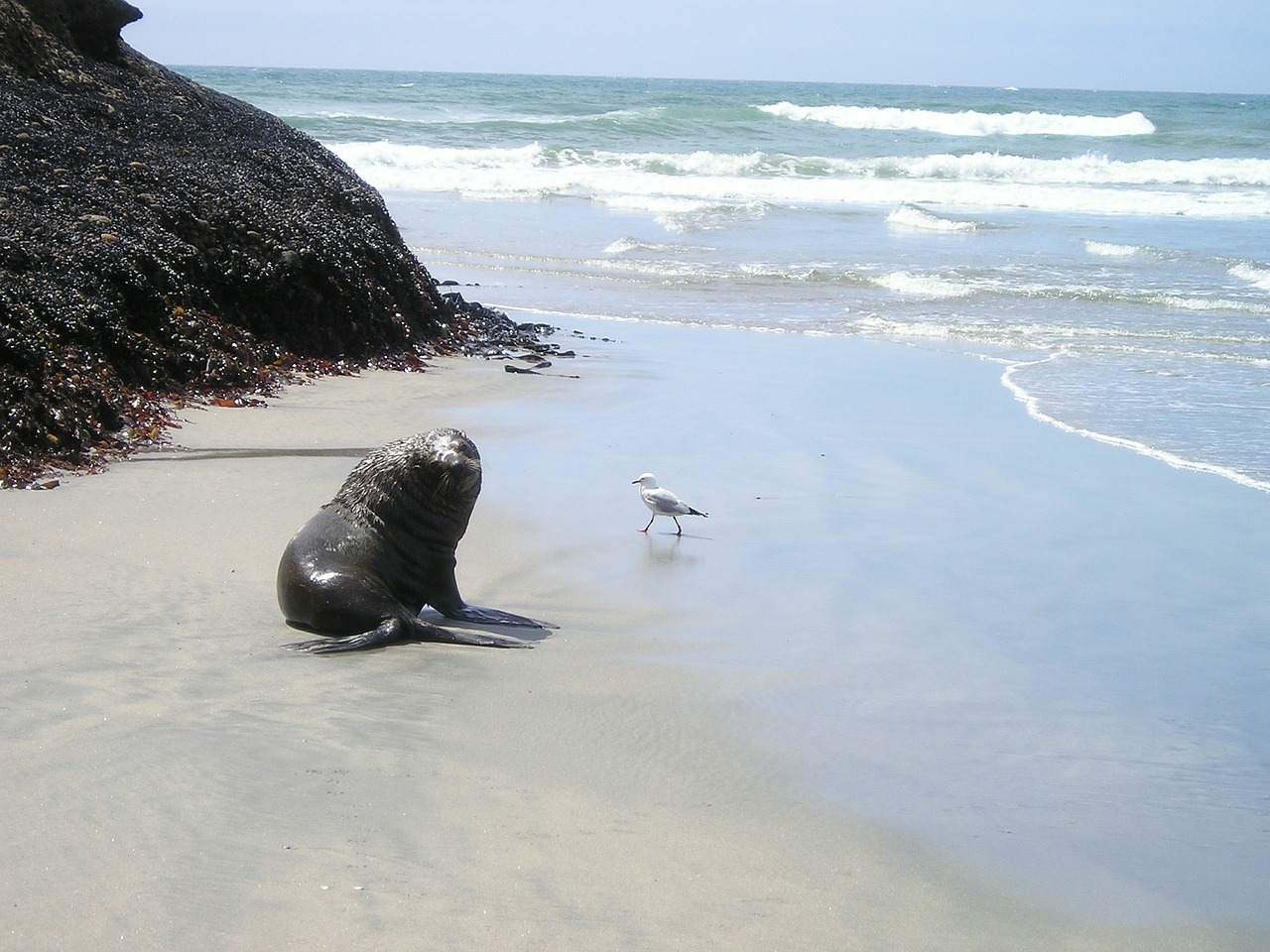 new zealand seal south island free picture