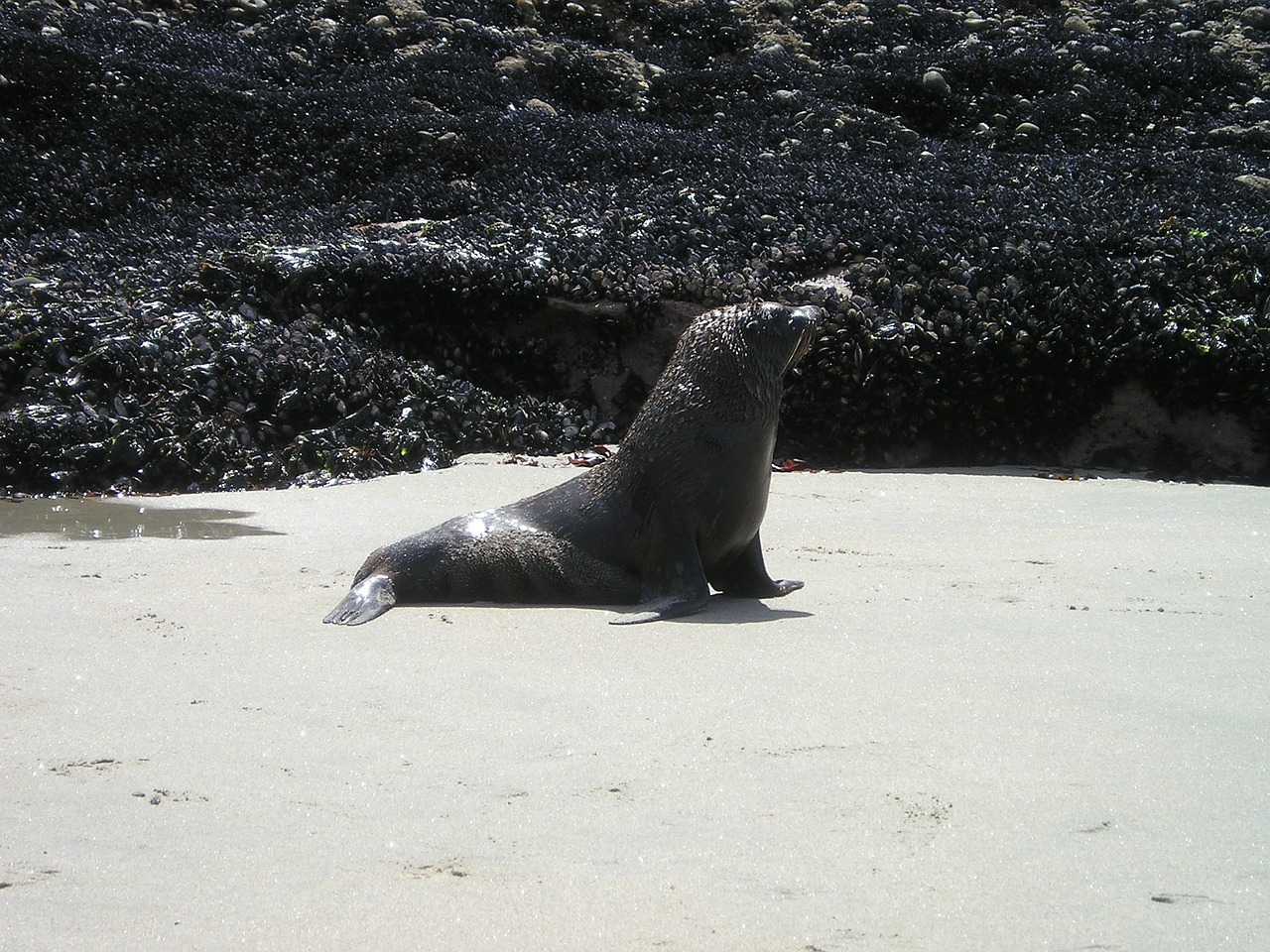 new zealand seal south island free photo