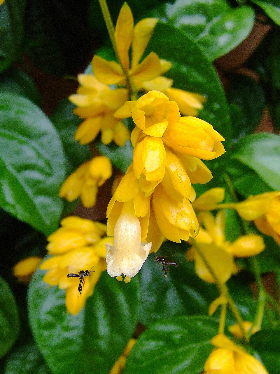 Nong Nooch Vine Flowers Yellow White