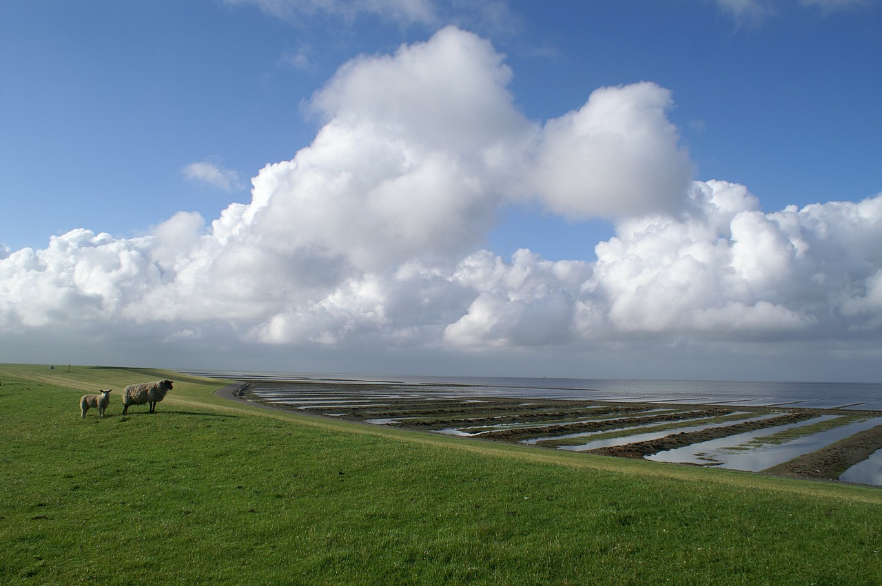 north sea nordfriesland sheep free photo