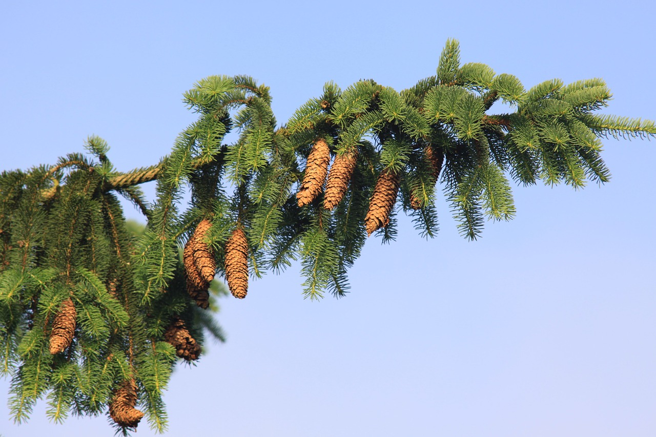 norway spruce spruce spruce needle free photo