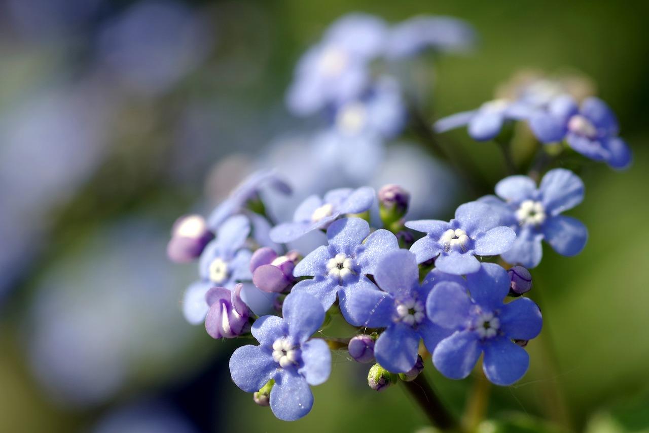 Notsflowers Blueminorgardencolored Free Photo From Needpix