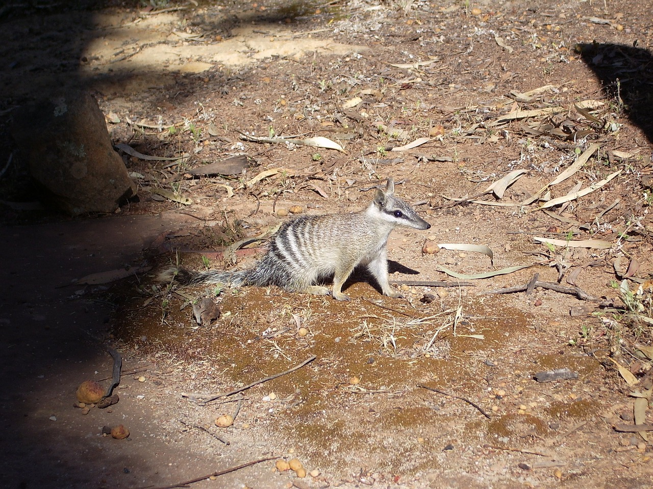 numbat ants beutler rodent free photo
