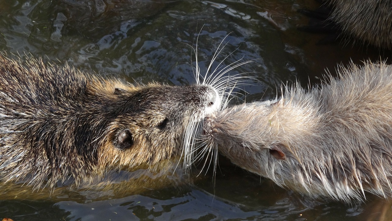 nutria water rat water free photo