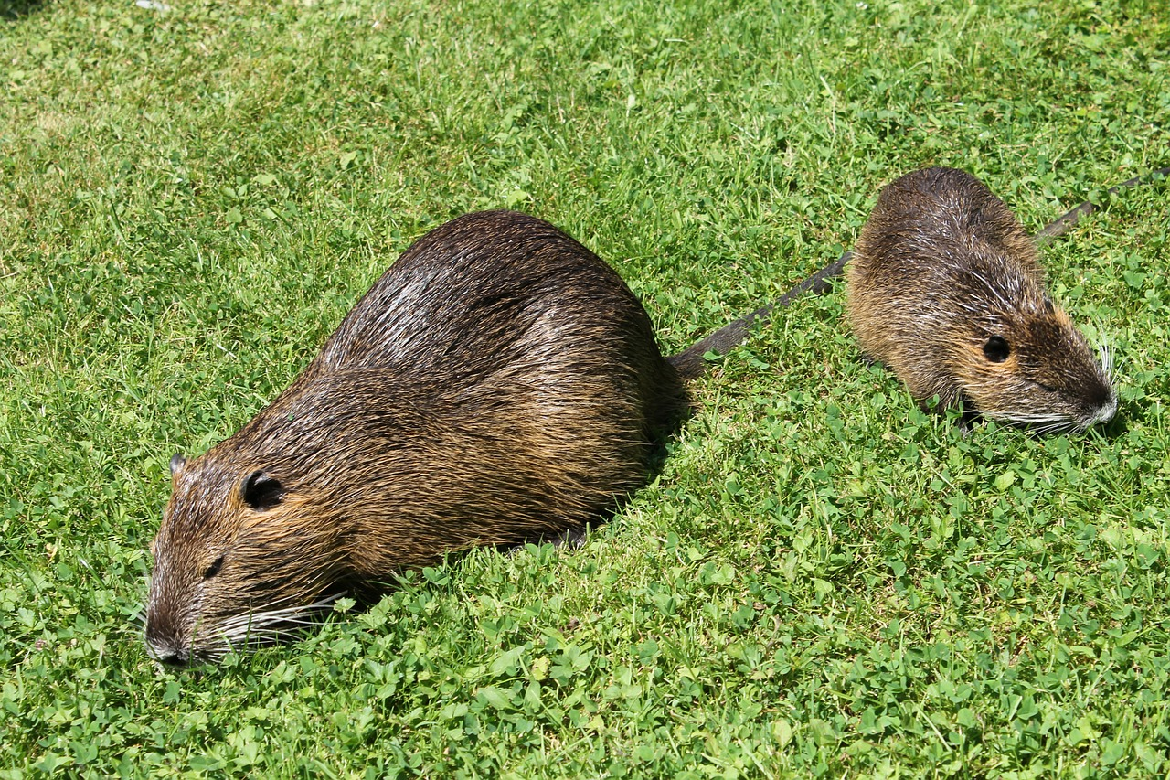 nutria rodent coypu free photo
