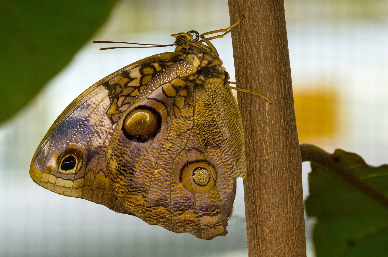 nymphalidae edelfalter owl butterfly free photo