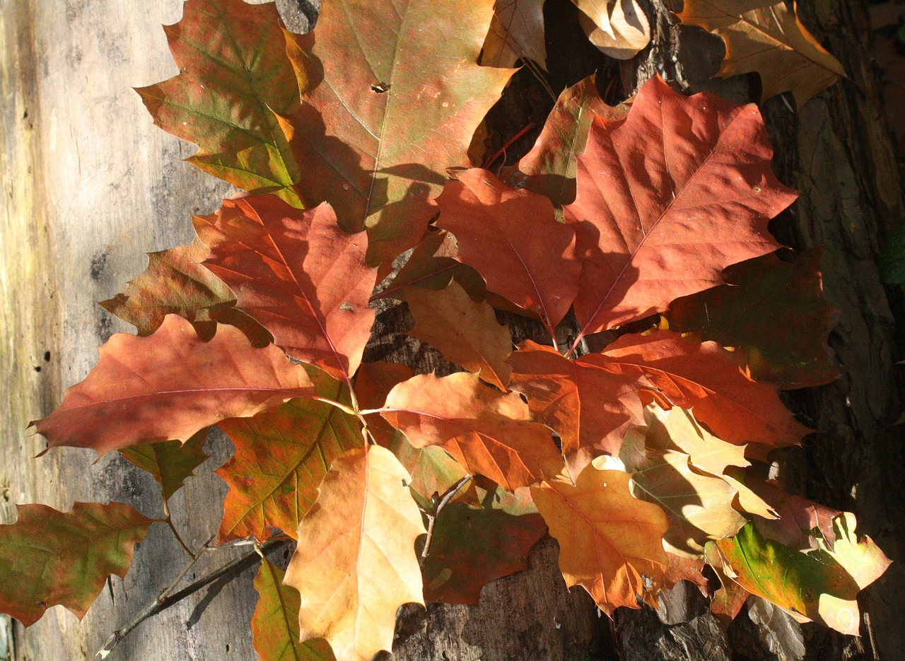 oak oak leaves red free photo