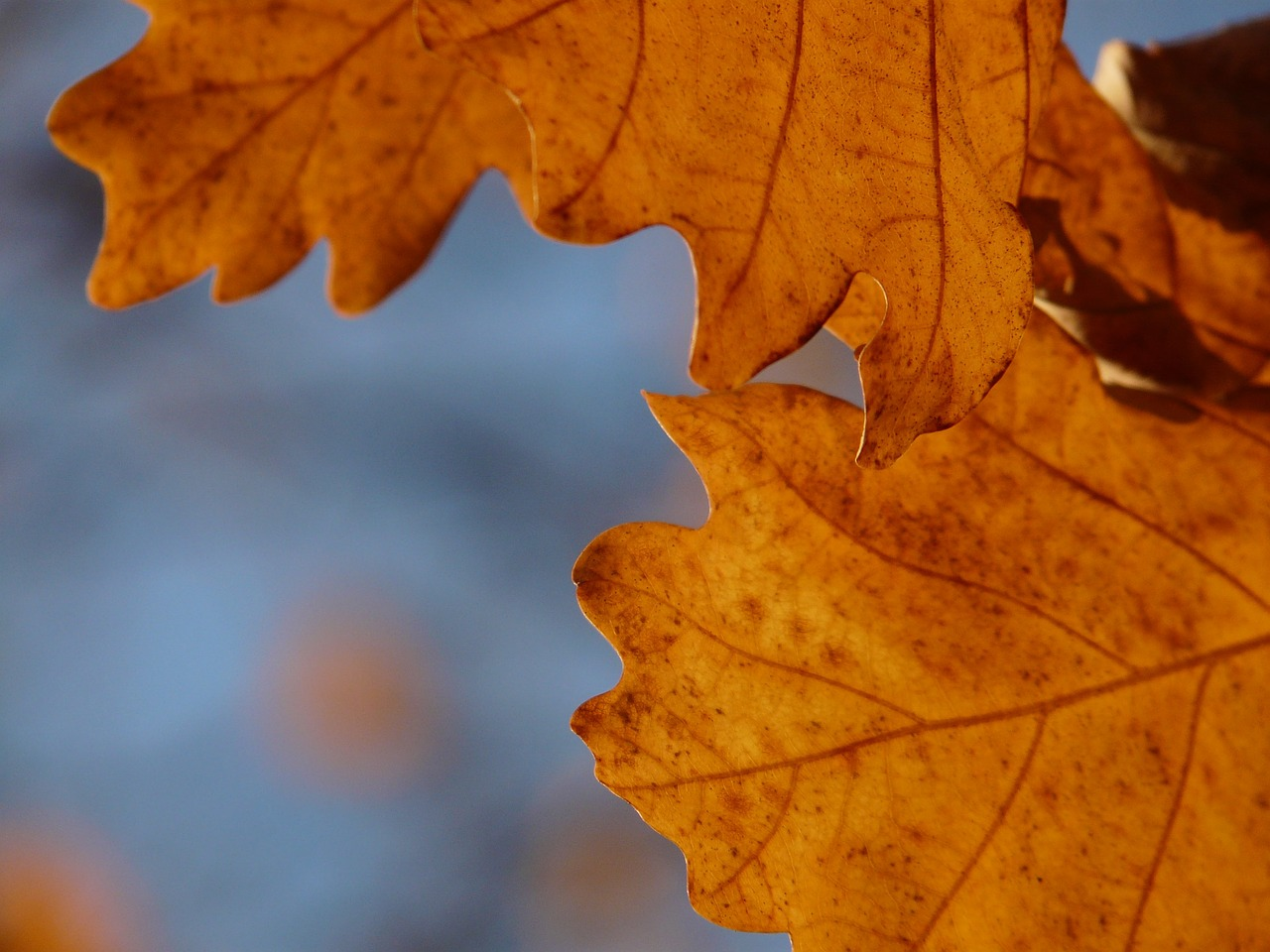 oak leaves oak quercus free photo