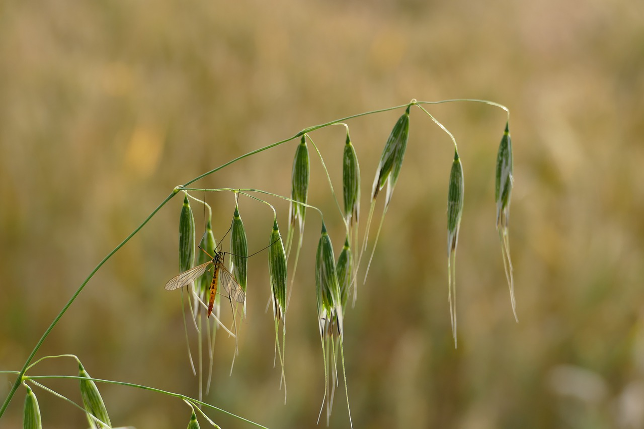 oat  avena fatua  wind-oats free photo