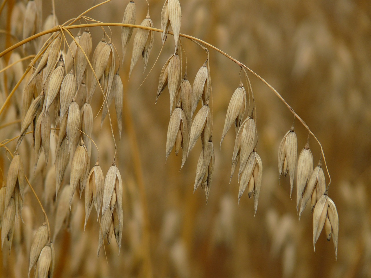 oats flag oat cereals free photo