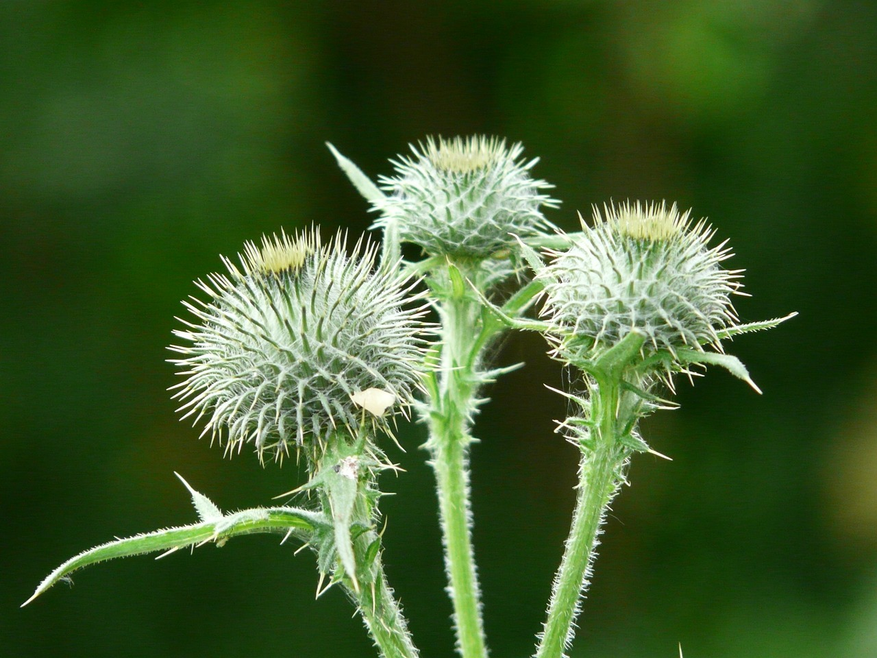 off thistle carduus acanthoides prickly thistle free photo
